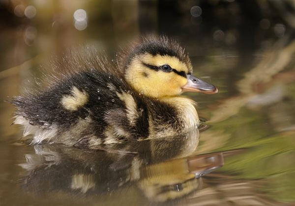 Mallard Duckling by chalkhillblue