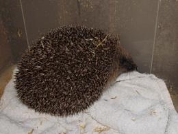 Chestnut the Hedgehog