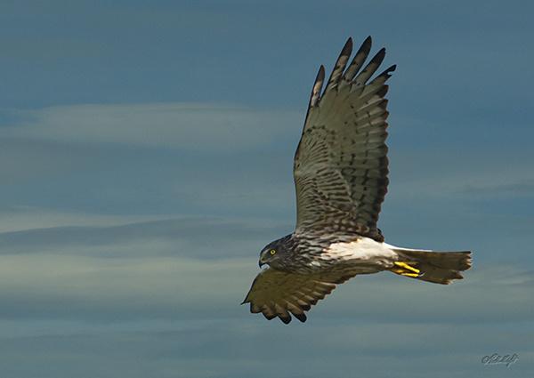 Harrier Hawk1292 cropped by paulknight