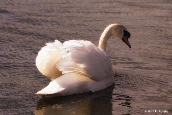 Mute Swan by lesarnott
