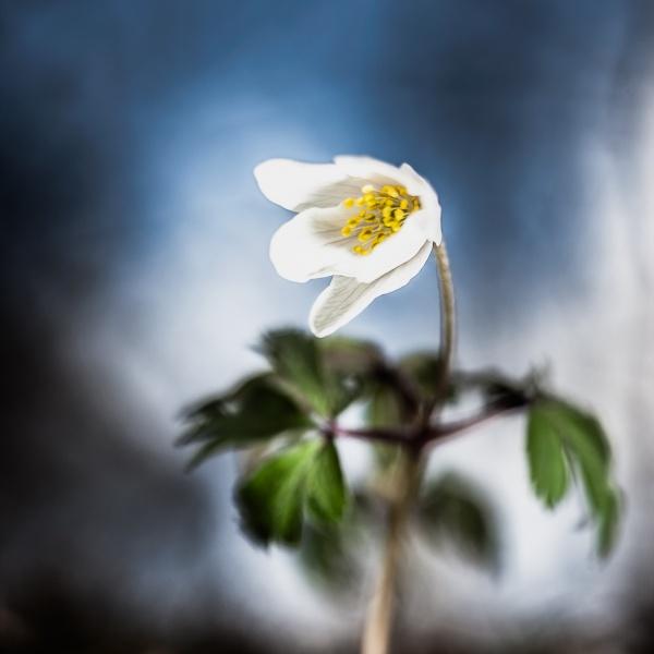 wood anemone by blomman
