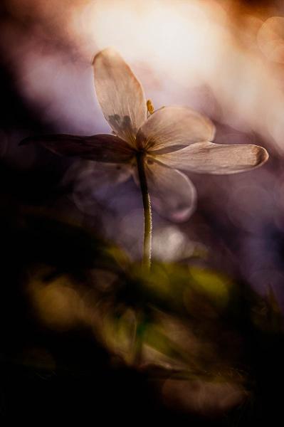wood anemone III by blomman