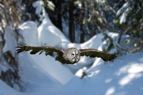 European Great Grey Owl by Metro6R4