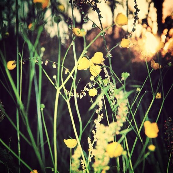 Buttercups & Sunshine by Shucky