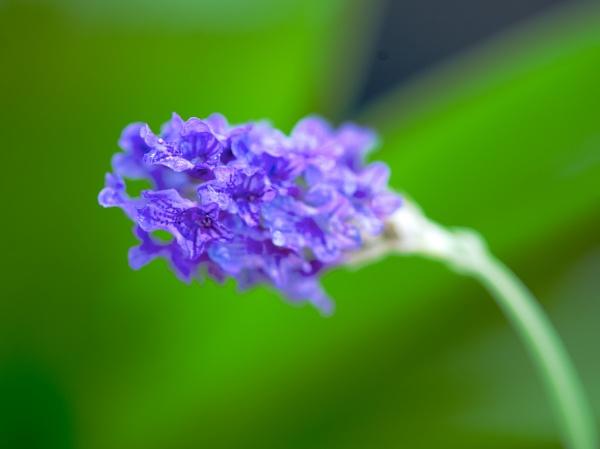Lavender by Newdawei