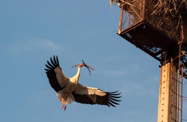 Stork by heron
