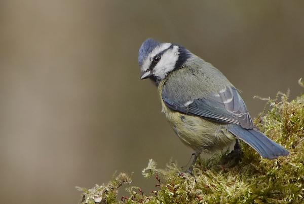 Blue Tit by heron