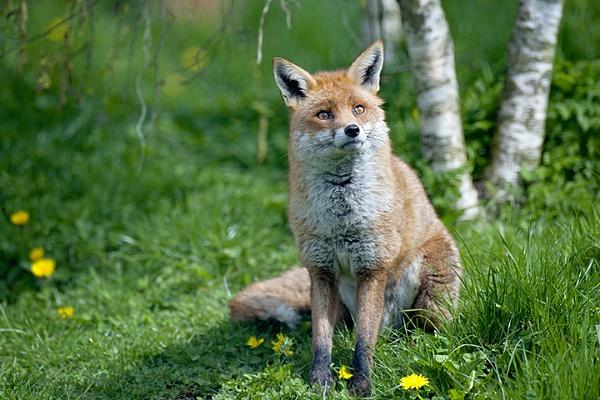 Red Fox by jackyp