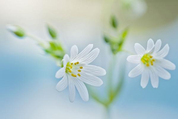 Spring Stitchwort by jackyp