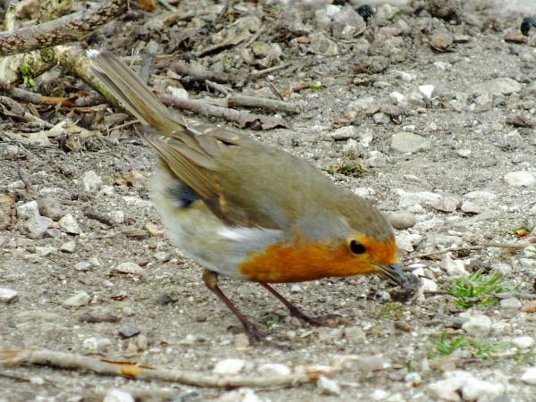 Robin 2 by Derek_Fearn