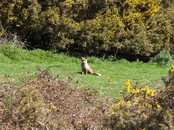 mr fox by raymond18