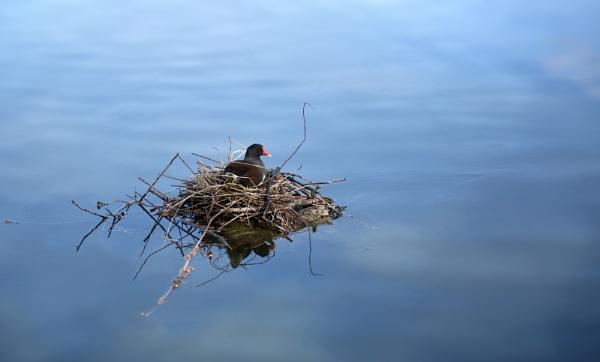 Koot on her nest. by amanda0102