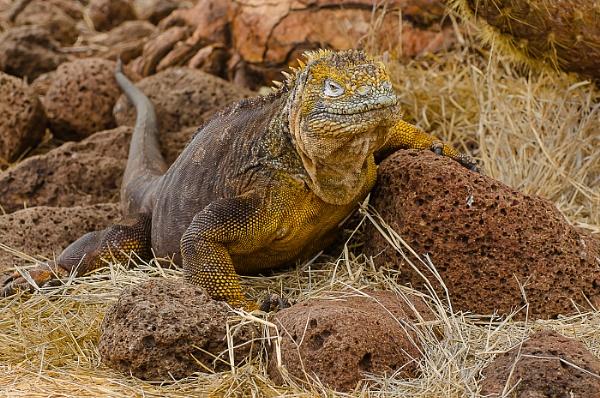 Land iguana by AnneB50