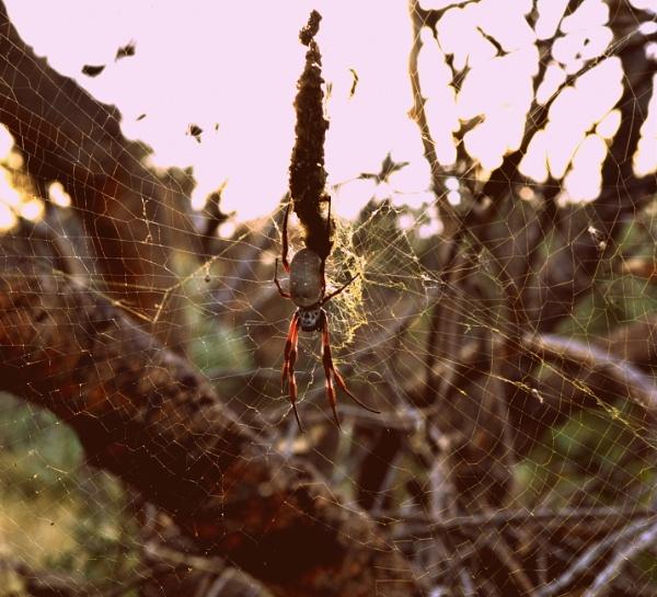Orb Spider by CLARECUM