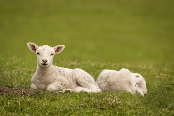 Twin Lambs by Fotomanic1