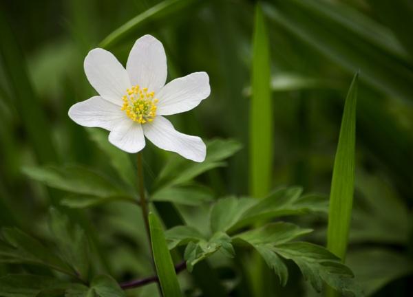 Wood anemone by Fotomanic1