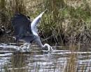 Heron fishing by IanHorner