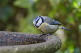 Bluetit : Parus Caeruleus