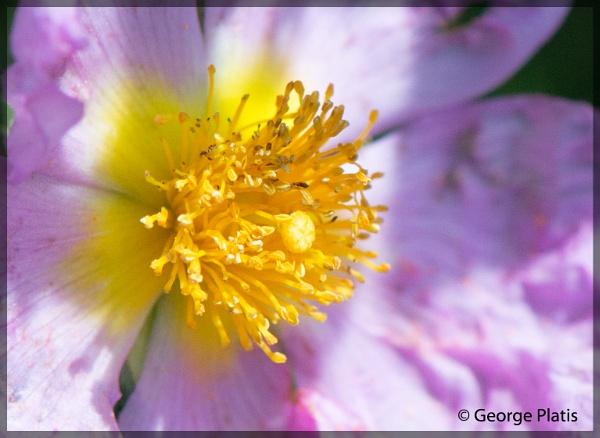 Cistus parviflorus close up by GeorgePlatis