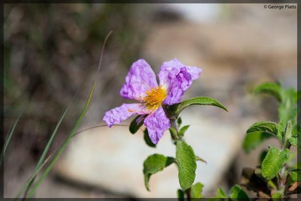 Rock Rose (Cistrus Creticus) by GeorgePlatis