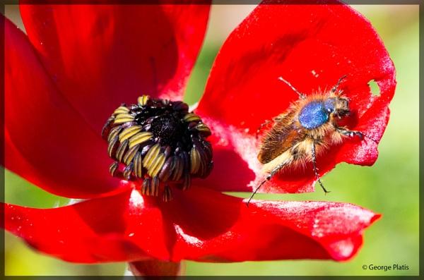 Poppy Beetle for Carol by GeorgePlatis