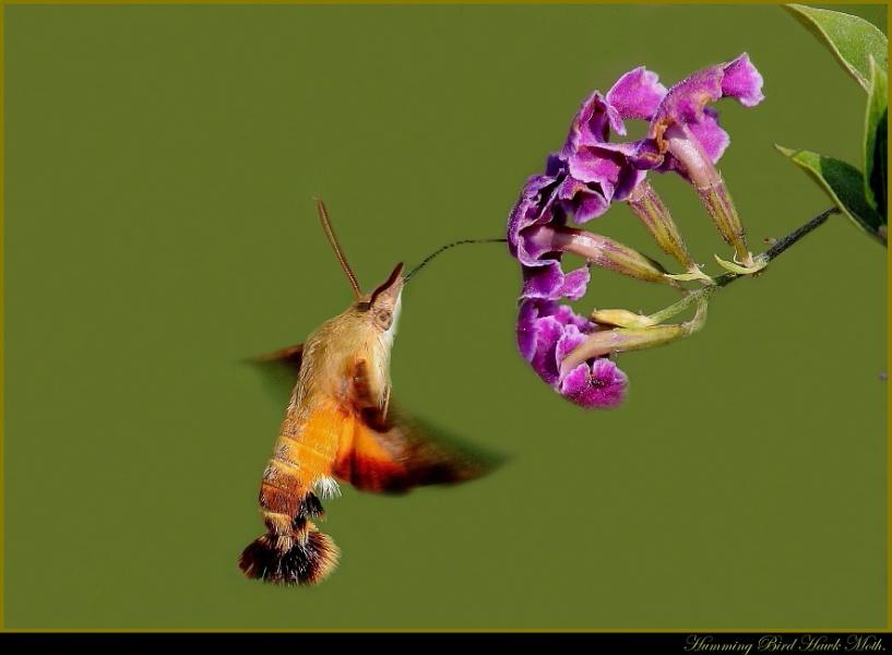 Humming Bird Hawk Moth.