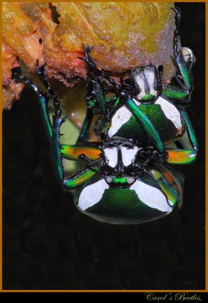 Carol's Beetles
