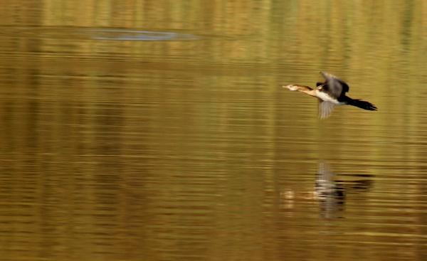Bird in flight by Sone
