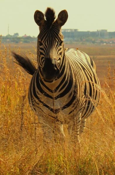 Zebra by Sone