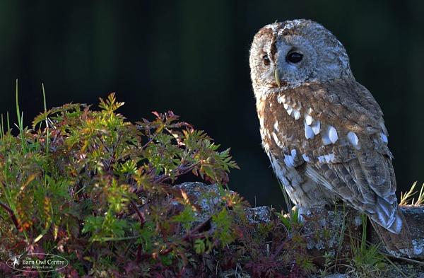 Tawny Owl (c) by VinceJones
