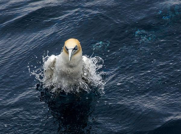 surfacing gannet by ireid7