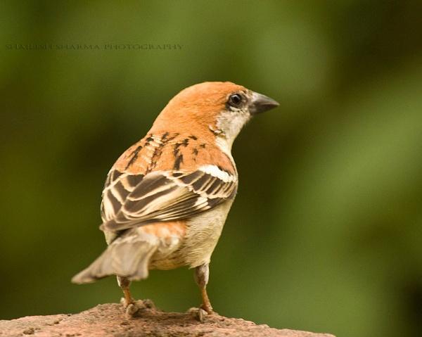 Russet Sparrow (Passer rutilans), by Dead_habits