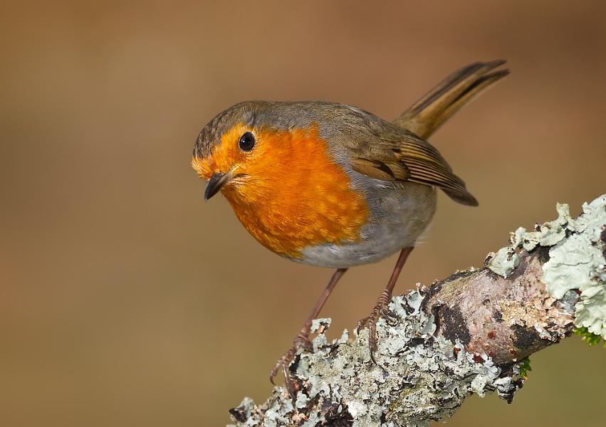 Inquisitive Robin.
