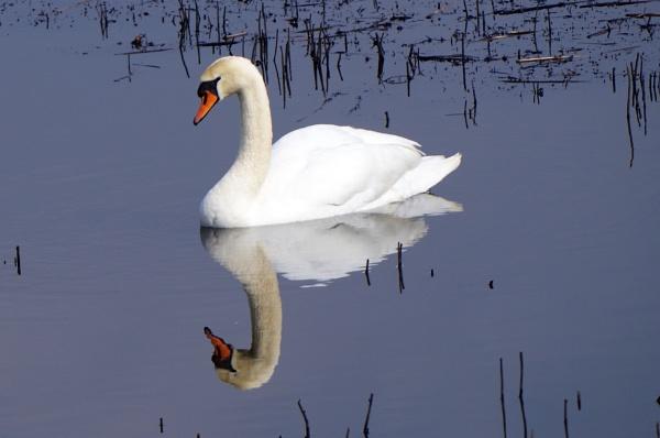 Mute Swan by johnwnjr