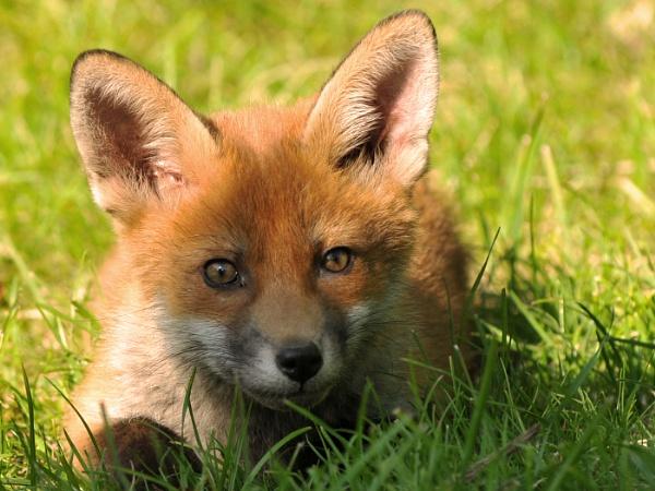 Fox cub by TrevorH