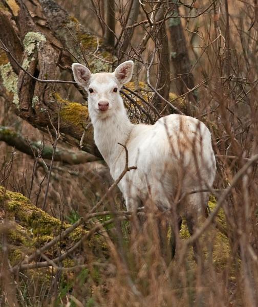 White Sika Deer by Trev_B