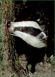 Badger- Meles meles.
