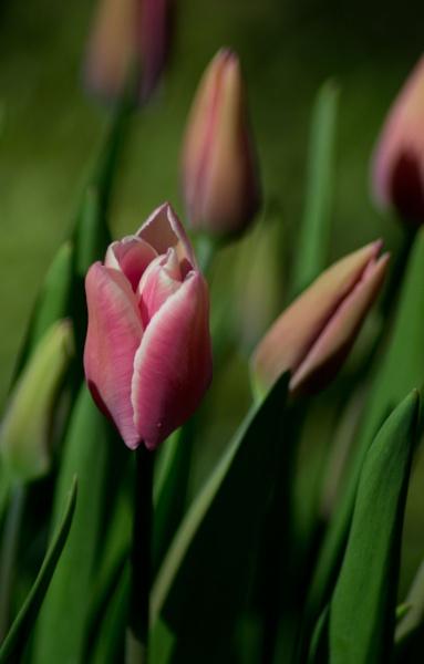 Tulip by greatdog
