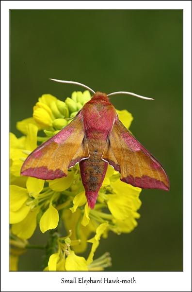 Small Elephant Hawk-moth by Ade_Osman