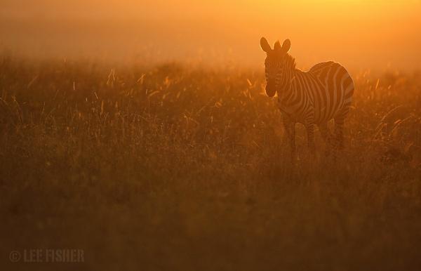 BACKLIT ZEBRA by LeeFisher