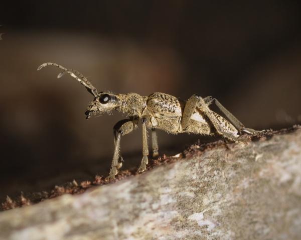 Longhorn Beetle (Rhagium mordax) Cerambycidae by Gio