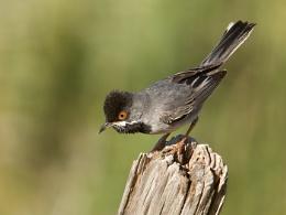 Rupell's Warbler
