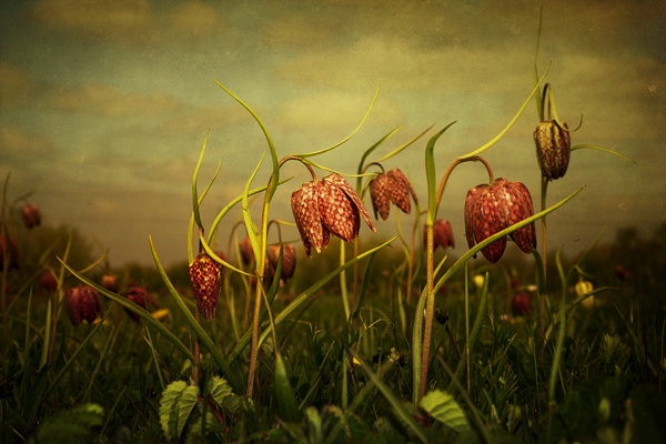 Fritillaries 2013 by Audran
