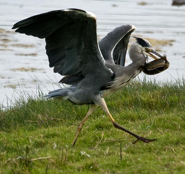 Heron & Eel by Harpic