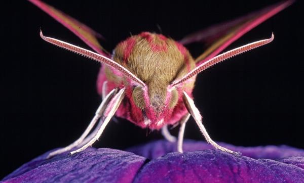 Elephant Hawk Moth on Petunia flower by Harpic