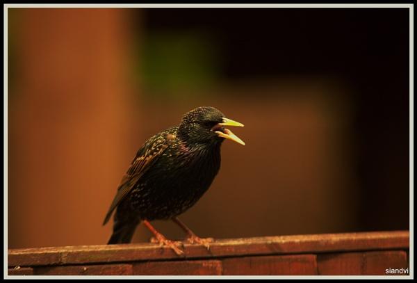 Starling Gab