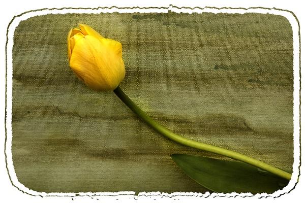 Tulip on Canvas by Irishkate