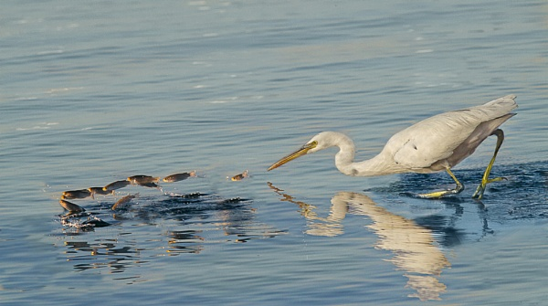 Egret in pursuit by footloose