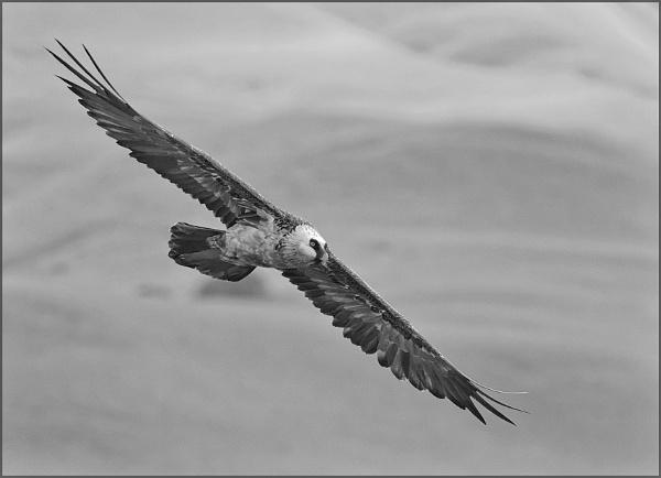 Bearded Vulture by Burkhard
