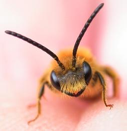 Andrena haemorrhoa (male) Early mining bee